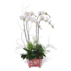 Four Stem White Phalaenopsis Orchid